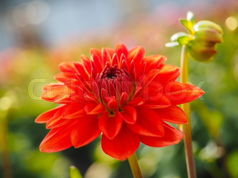 Stock image of 'Closeup of dahlia flower with bud at closeup'
