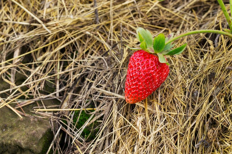 Stock image of 'Red ripe strawberries is on the straw'