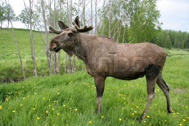 Stock image of 'Moose in the forest in Sweden'
