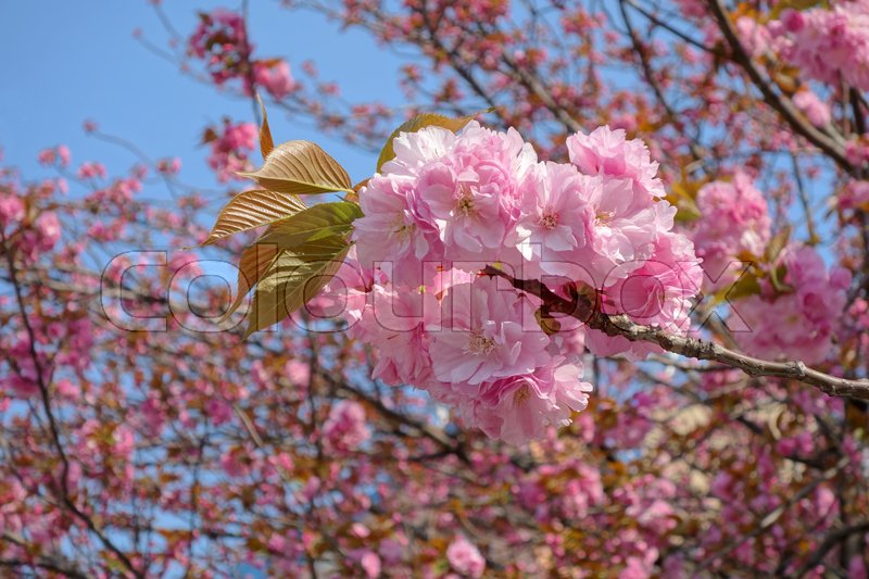 Stock image of 'Beautiful cherry blossom in Tokyo'
