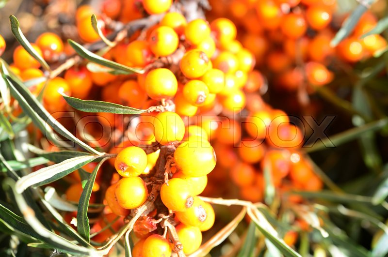 Stock image of 'branch with berries of sea buckthorn and green leaves on a background of grass and sky'