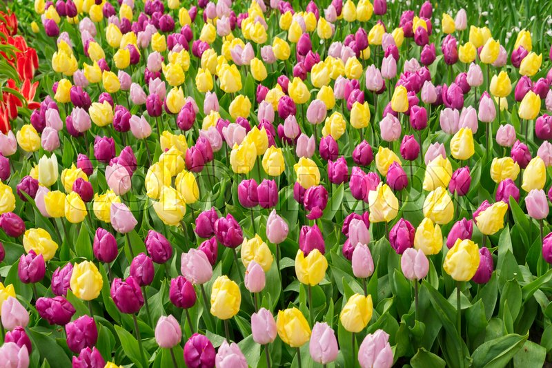 Stock image of 'Pink, purple and yellow tulips blooming flowerbed'