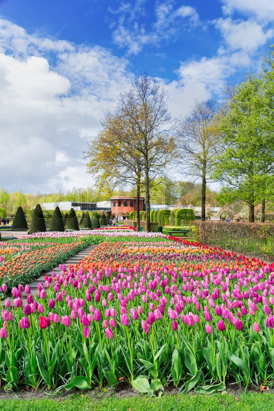 Stock image of 'Colourful Tulips Flowerbeds and Tree in Attractive Formal Garden'