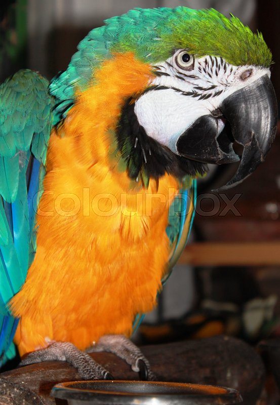 Stock image of 'Parrot on a stock mankinds pet'