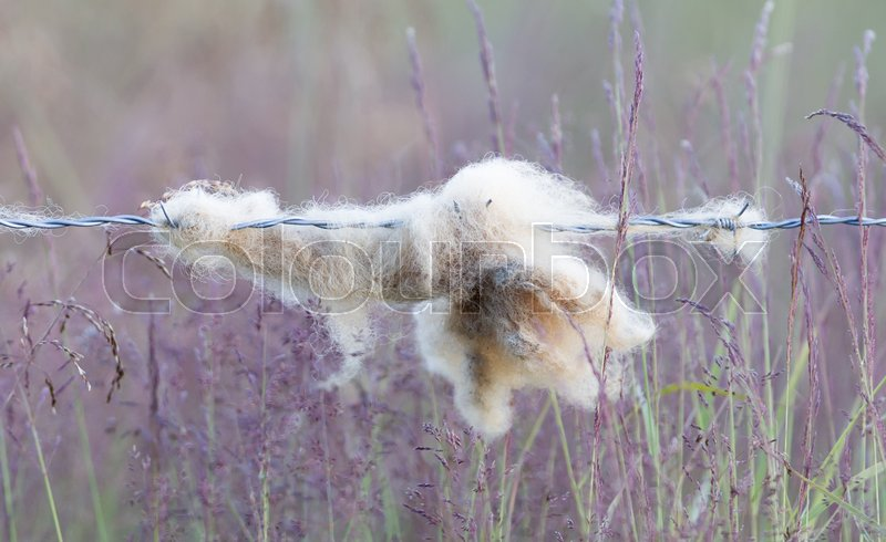 Stock image of 'Sheep wool snagged on barbed wire - Iceland'
