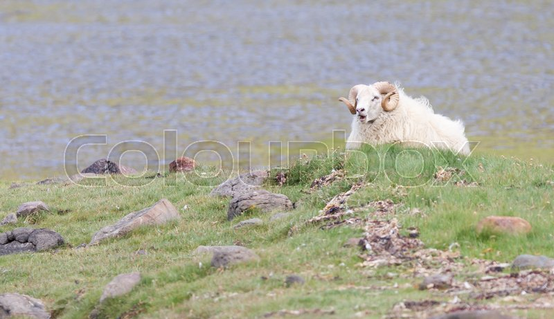 Stock image of 'One Icelandic big horn sheep enjoying the sun'