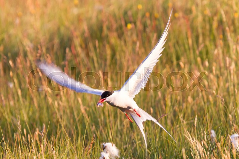 Stock image of 'Arctic tern with a fish - Warm evening sun - Common bird in Iceland'