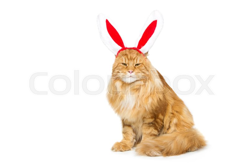 Stock image of 'Big adorable ginger maine coon cat in christmas rabbit ears head rim. Isolated on white background. Copy space.'