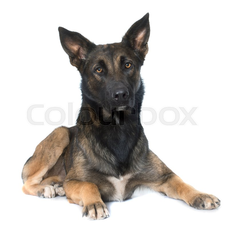 Stock image of 'belgian shepherd malinois in front of white background'