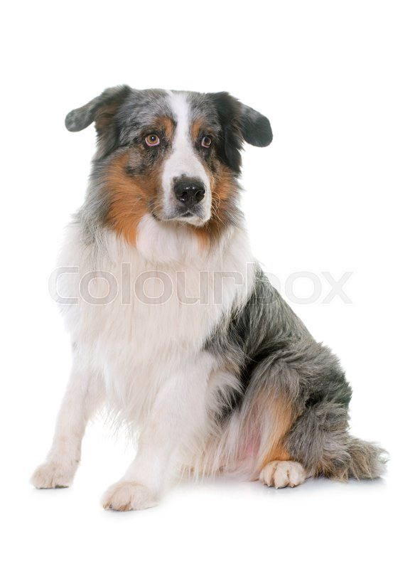 Stock image of 'australian shepherd in studio in front of white background'