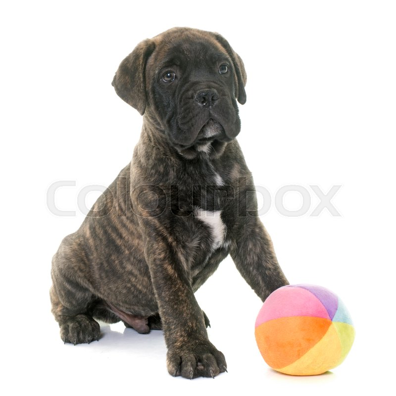 Stock image of 'puppy bull mastiff playing in front of white background'