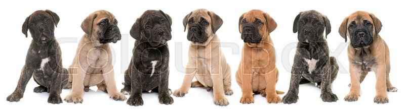 Stock image of 'puppies bull mastiff in front of white background'