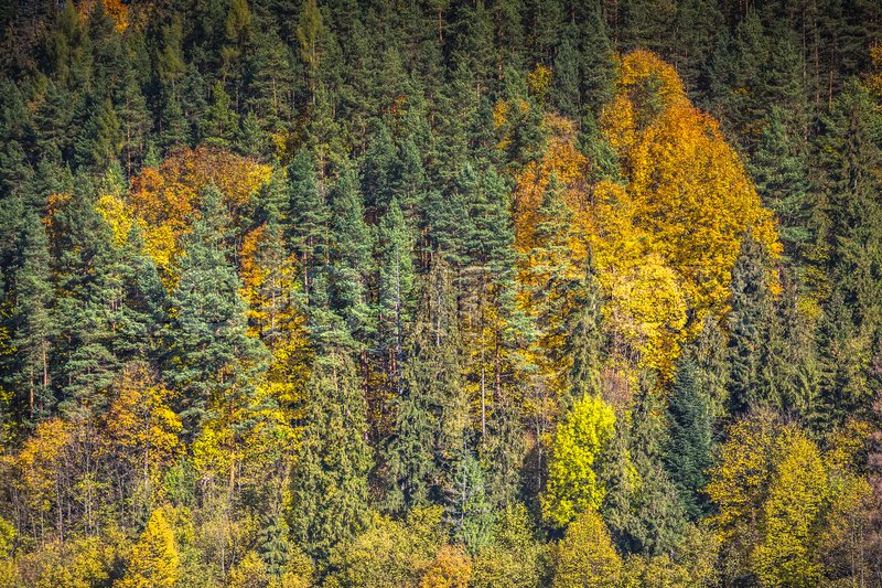 Stock image of 'Autumn forest landscape-yellowed autumn trees and fallen autumn leaves.'