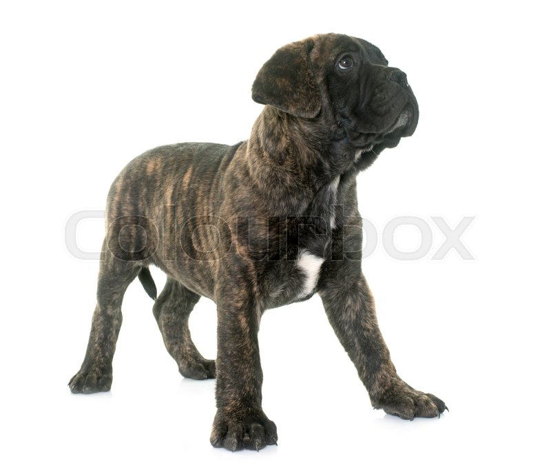 Stock image of 'puppy bull mastiff in front of white background'