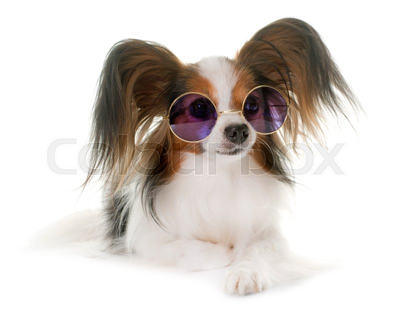 Stock image of 'papillon dog in front of white background'