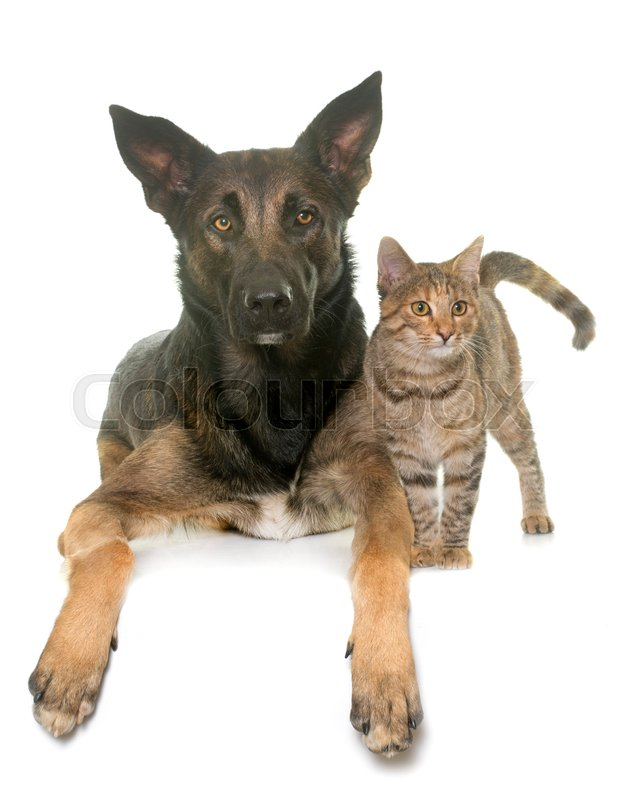 Stock image of 'kitten and belgian shepherd malinois in front of white background'