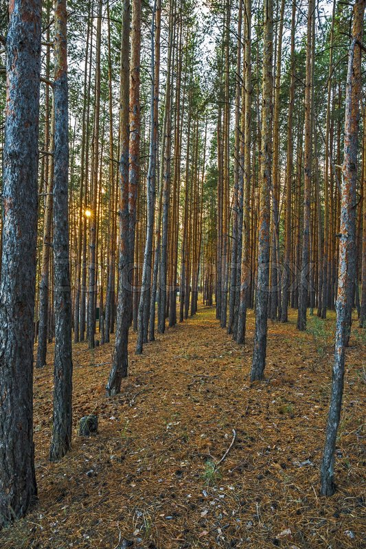 Stock image of 'Pine Forest in the autumn forest'