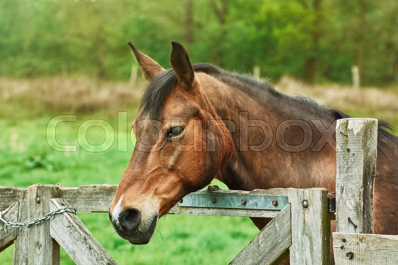 Stock image of 'Portrait of Brown Horse near the Fence'