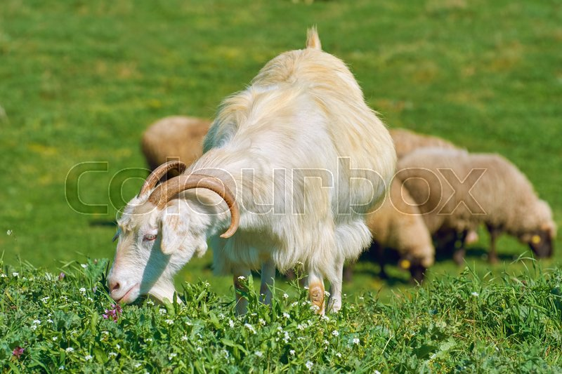 Stock image of 'White She-Goat on the Pasture, in front of Sheeps'