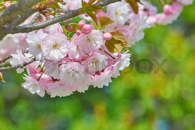 Stock image of 'Blossom of Sour Cherry in the Spring'