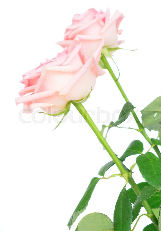 Stock image of 'Two pink blooming roses isolated on white background'