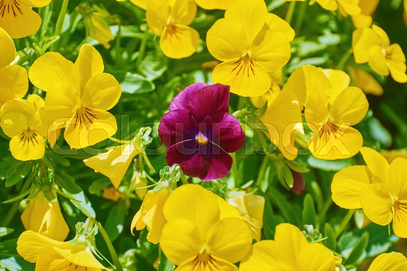 Stock image of 'Magenta Garden Pansy Flower among Yellow Ones'