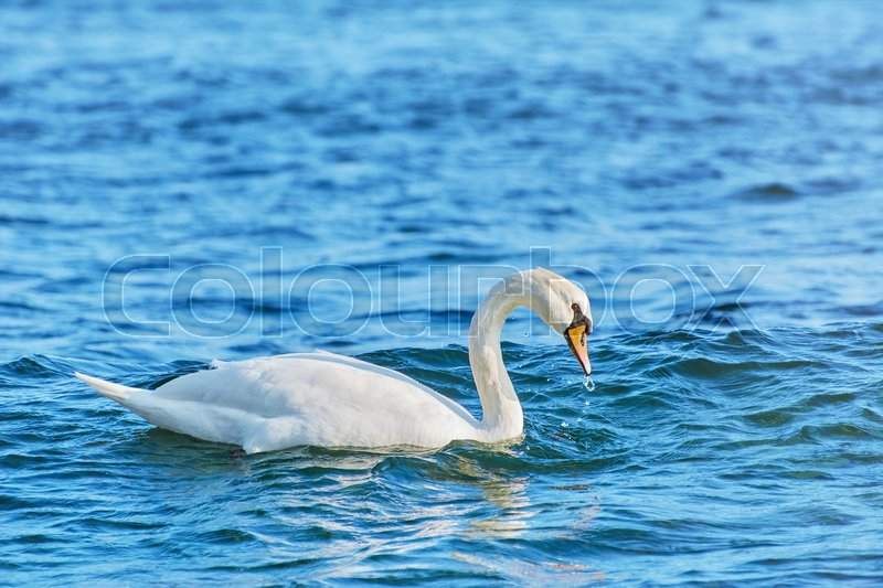 Stock image of 'White Swan Resting on the Water in Black Sea'