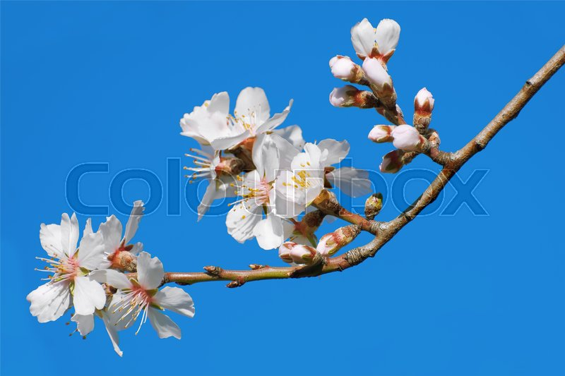 Stock image of 'Spring Flowers on Branchlet against Blue Sky'