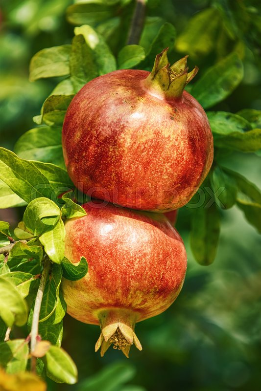Stock image of 'Two Mature Pomegranate Fruits on the Tree'