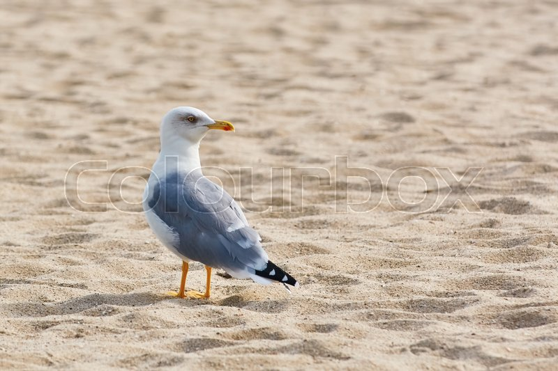 Stock image of 'Seagull is Standing on the Sand and Looking Back'