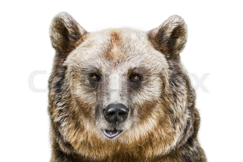Stock image of 'Portrait of the Brown Bear over the White Background'