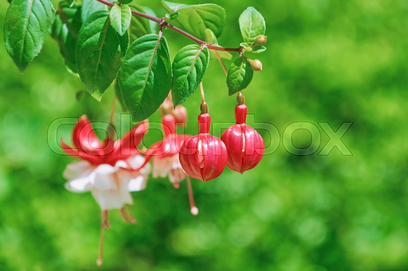 Stock image of 'Fuchsia Hybrida Flowers over the Green Background (Shallow DoF)'