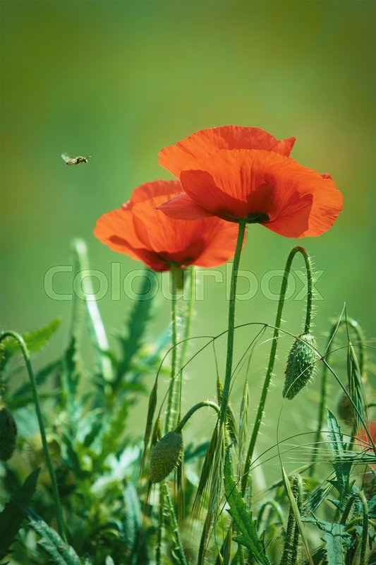 Stock image of 'Poppy Flowers against of the Grass'