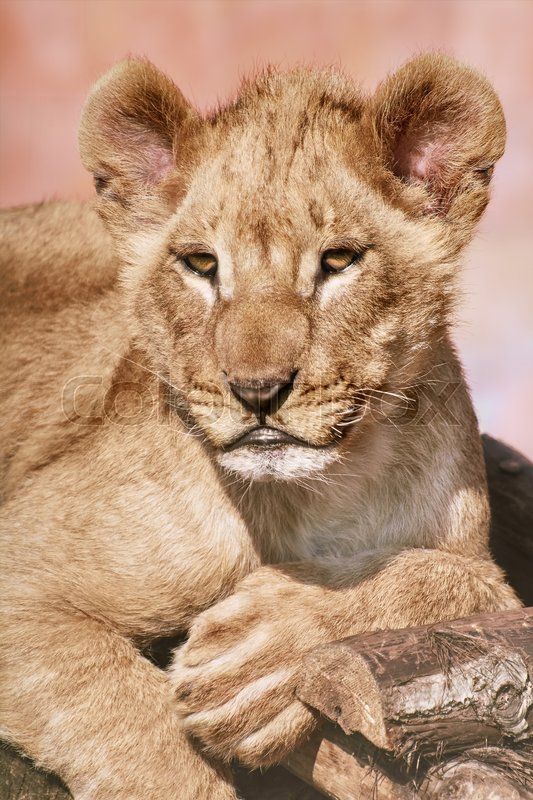 Stock image of 'Portrait of Young Lion'