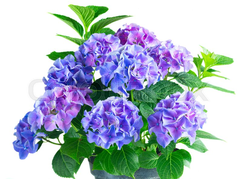 Stock image of 'blue and violet hortensia flowers with green leaves bush isolated on white background'