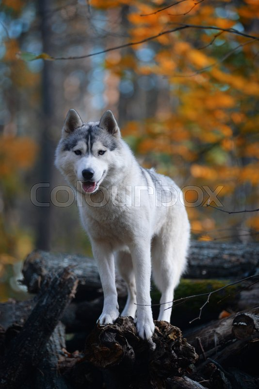 Stock image of 'Huskies - king of the hill'