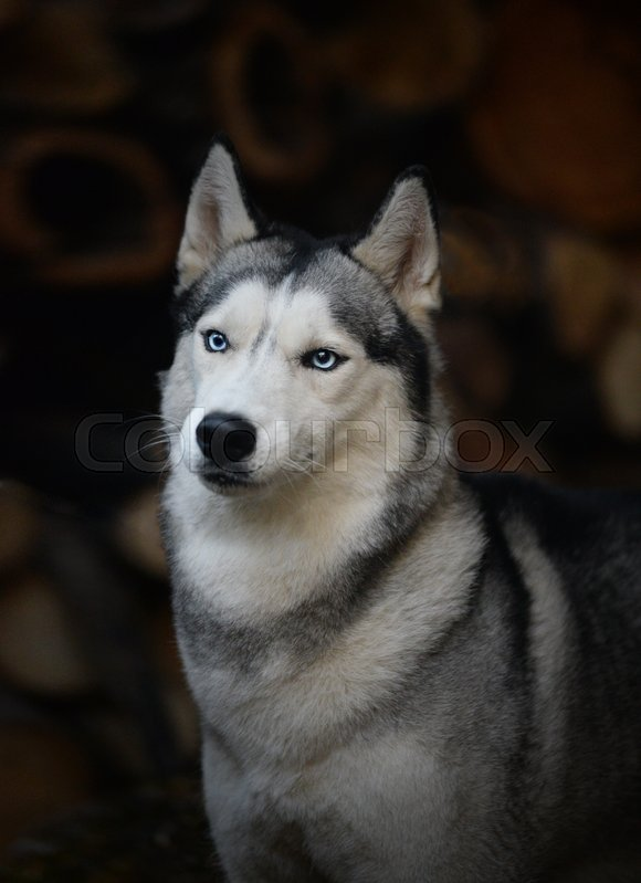 Stock image of 'portrait of a dog breed Siberian Husky'
