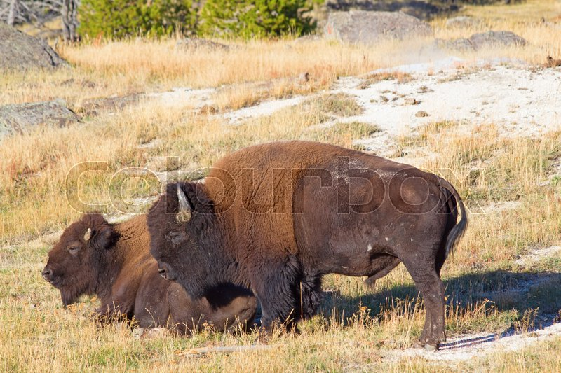 Stock image of 'Bison in the Yellowstone national park, Wyoming, USA'