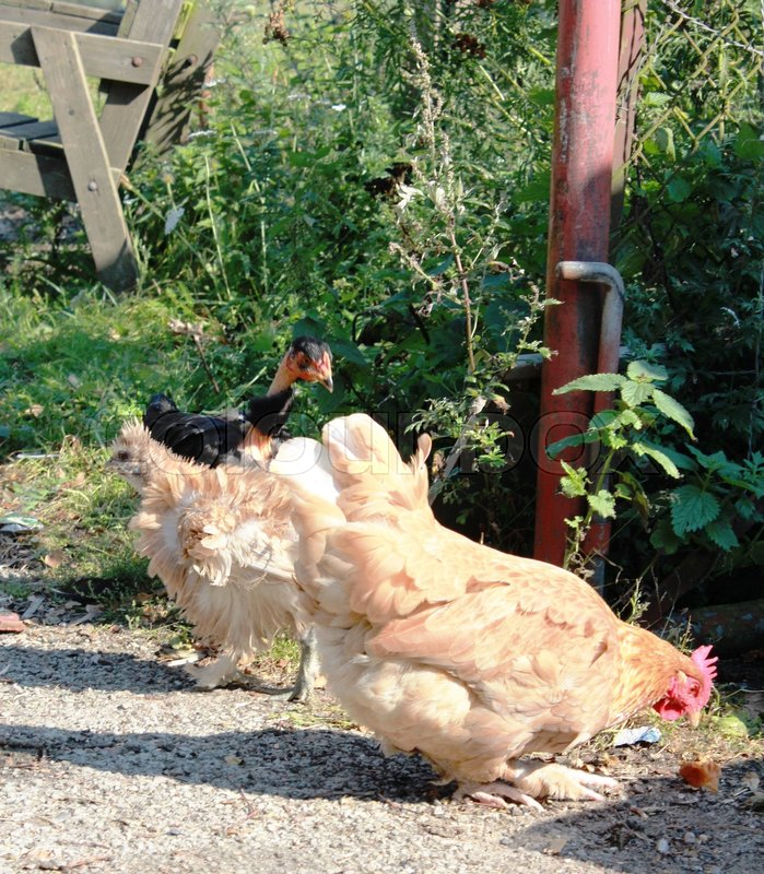Stock image of 'Chickens on a farm'