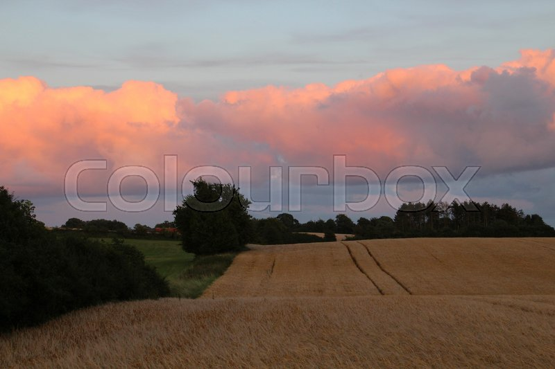 Stock image of 'Tractor tracks in the cornfield at sunset'
