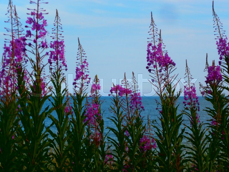 Stock image of 'Purple Roes flower by the sea'