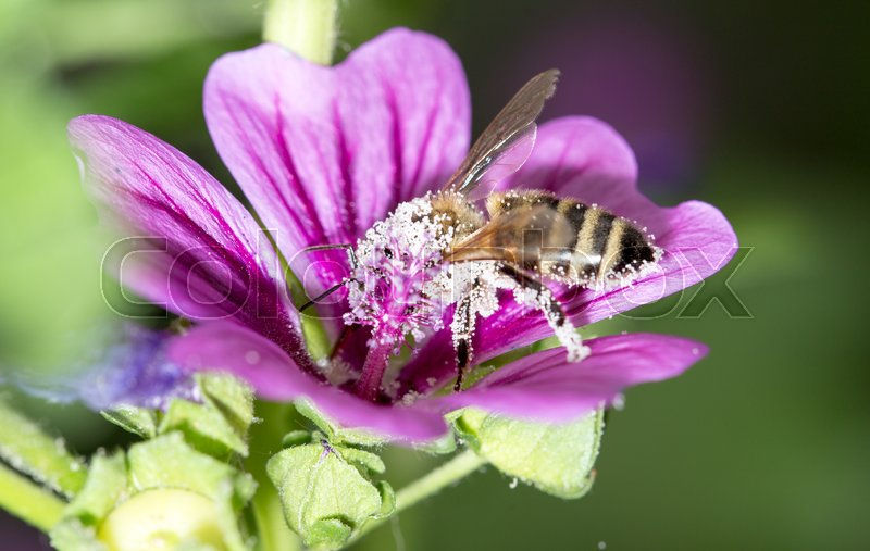 Stock image of 'Bee on a purple flower. macro'