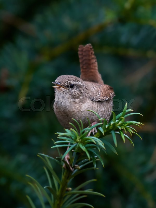 Stock image of 'Eurasian wren sitting on a branch in its habitat'