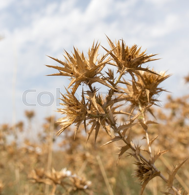 Stock image of 'Dry prickly grass against the sky'