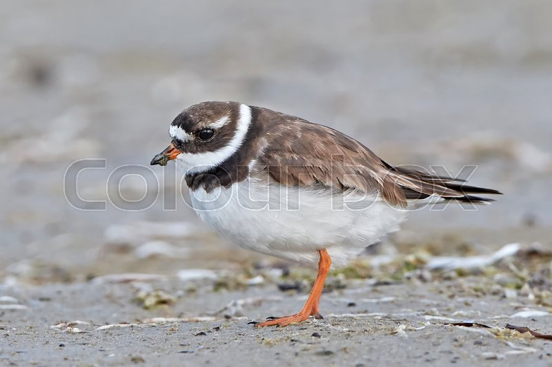 Stock image of 'Common ringed plover in its habitat with mud on its beak'