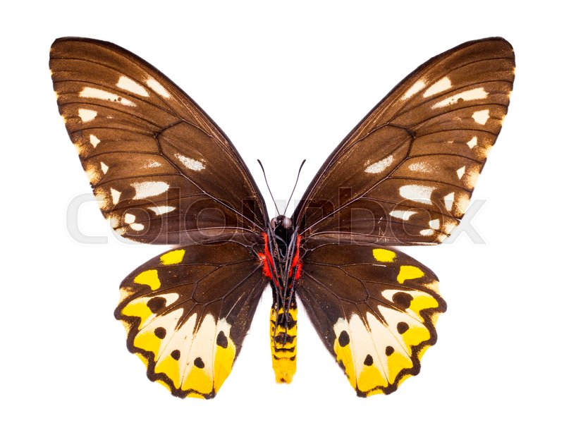 Stock image of 'Ornithoptera, Goliath Samson or Arfakensis. Beautiful colorful butterfly with brown and yellow wings isolated on white. '