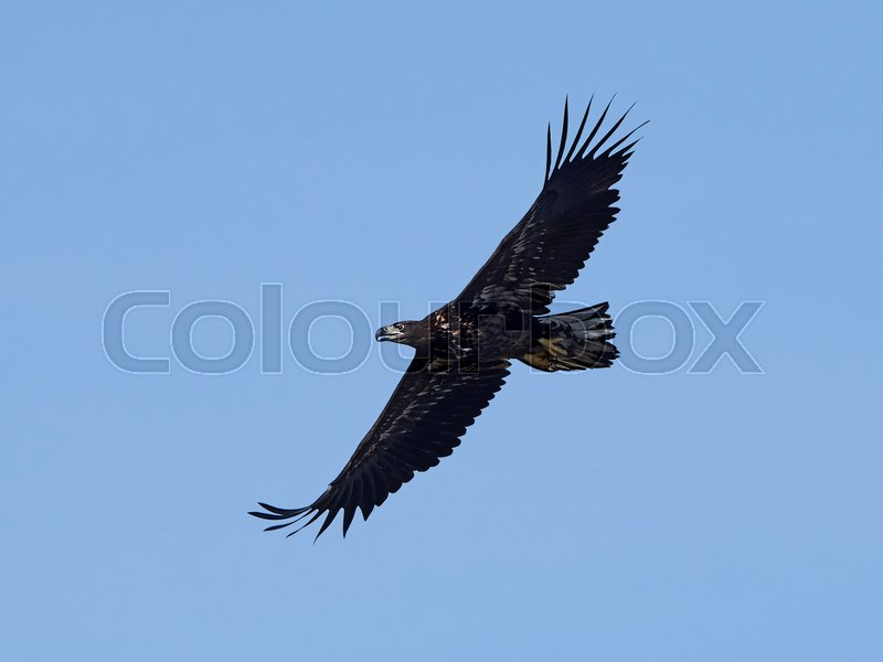 Stock image of 'White-tailed eagle in flight with blue skies in the background'