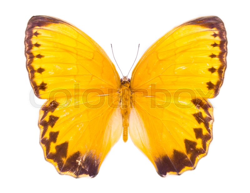 Stock image of 'Stichophthalma Louisa. Burmese Junglequeen Siamensis. Beautiful colorful butterfly. Moth isolated on white.  '
