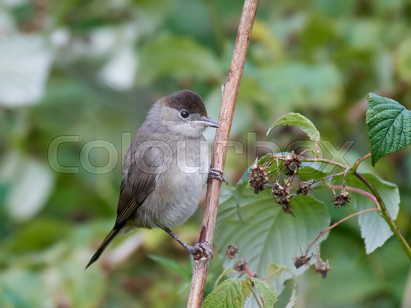 Stock image of 'Eurasian blackcap sitting on a branch with vegetation in the background'