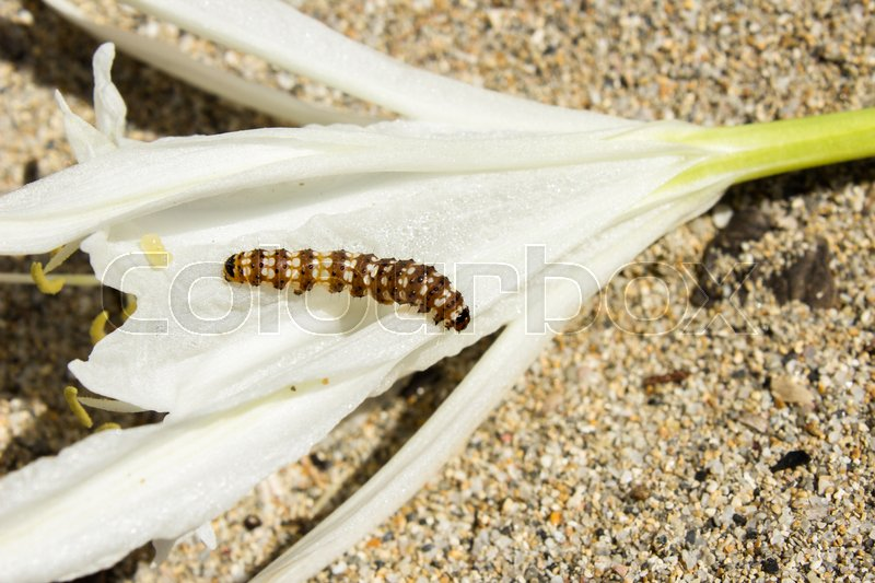 Stock image of 'caterpillar that he lives near the beaches and that feeds on white flowers'